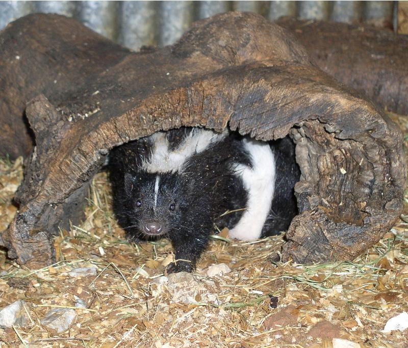 Canku Ota - February 23, 2002 - How Skunk Got His Scent