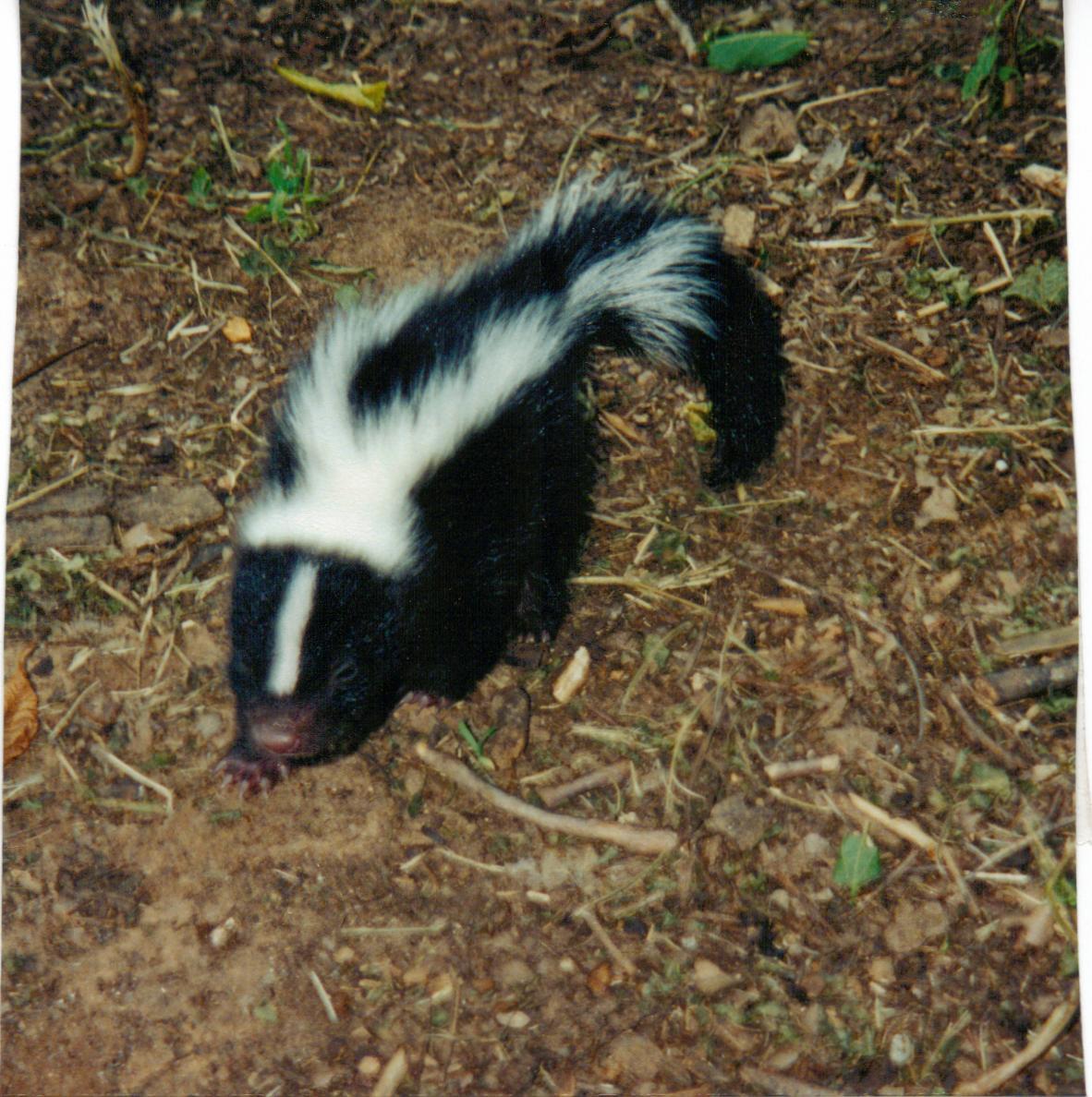rescue stories walkin u0027 wild skunk rescue